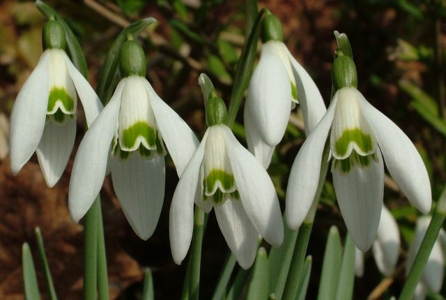 snowdrop_spring_signs_of_spring